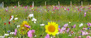 Mélanges de Prairies Fleuries