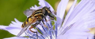 Biodiversité Syrphes