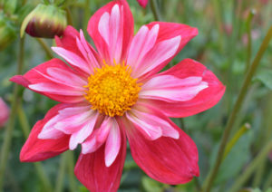 Dahlia collerette cherry star