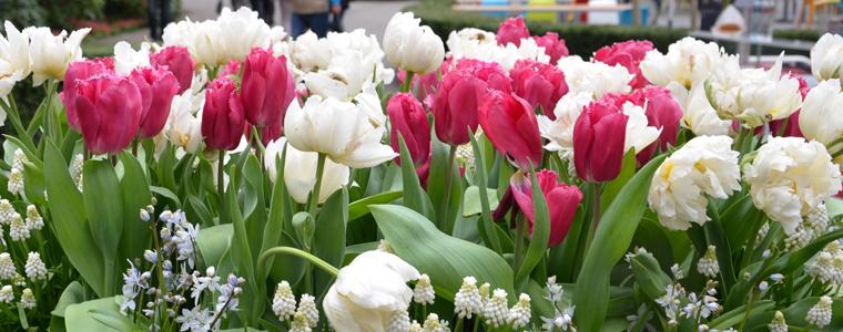 Gamme de bulbes à fleurs pour les balcons, terrasses et jardinières