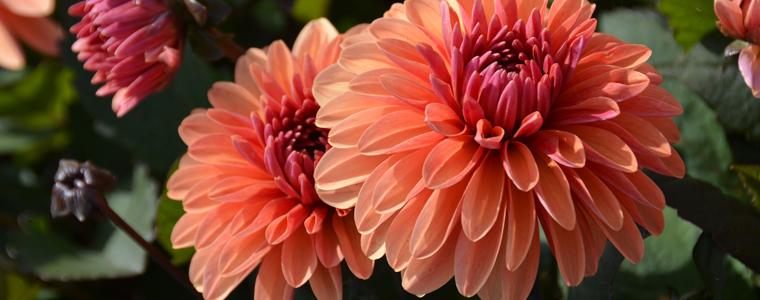 Bulbes à fleurs de dahlias label rouge français de la marque Nova-Flore