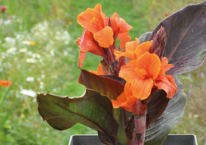 Canna Nain Orange - Nova Flore Jardin